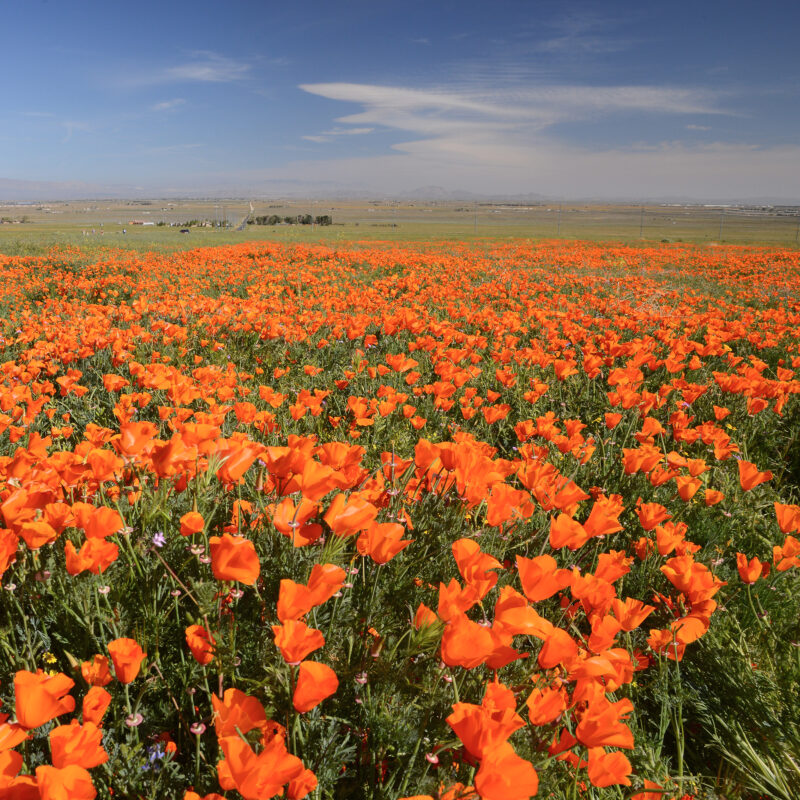 Antelope Valley California Poppy Reserve in Southern California.