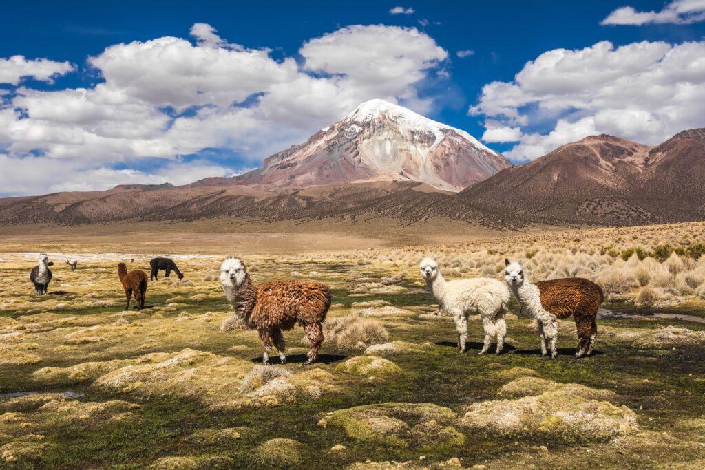 Aplacas near Sajama Volcano in Bolivia.