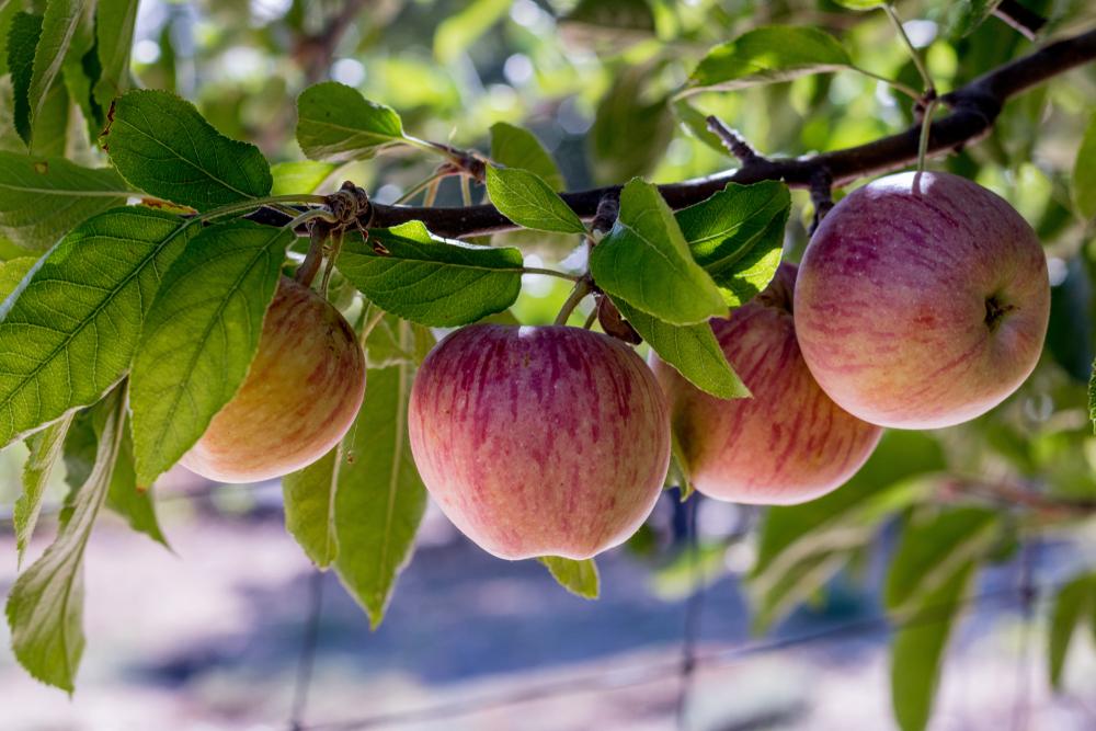 apple orchard in julian