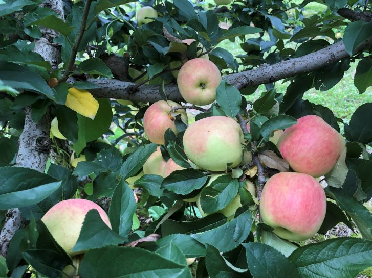 Apples growing on a tree in North Carolina.