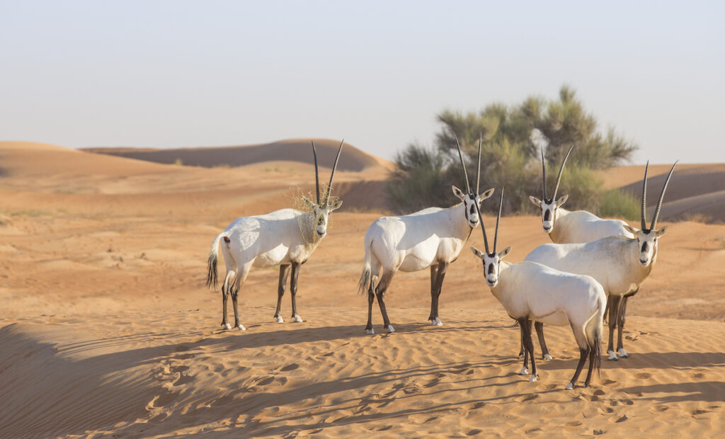 Arabian oryxes in the middle east.