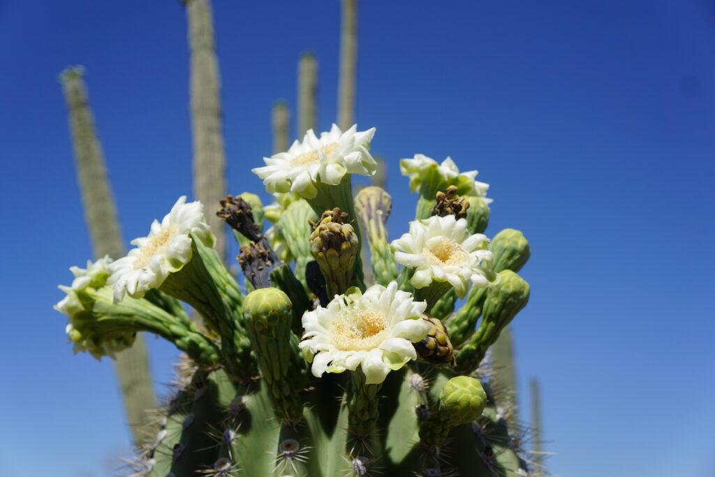 Arizona's state flower in Saguaro National Park.