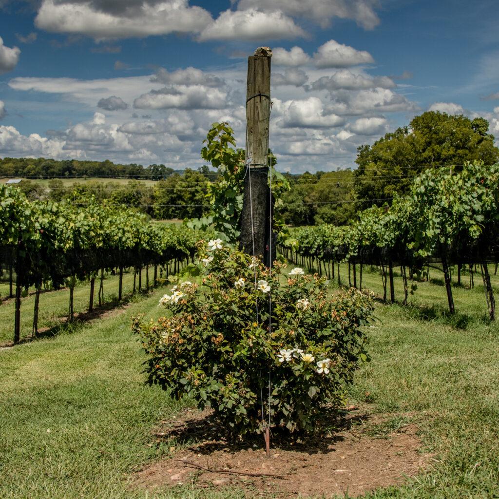 Arrington Vineyards in Franklin.
