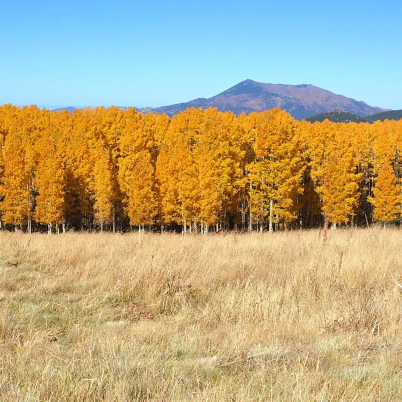 Aspens at the Arizona Snowbowl in Flagstaff.