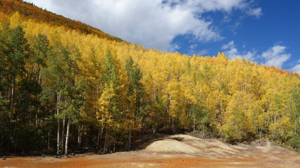 Aspens changing colors for the fall in Colorado.