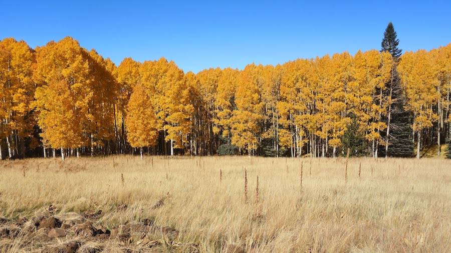 Aspens near the Arizona Snowbowl in Flagstaff.