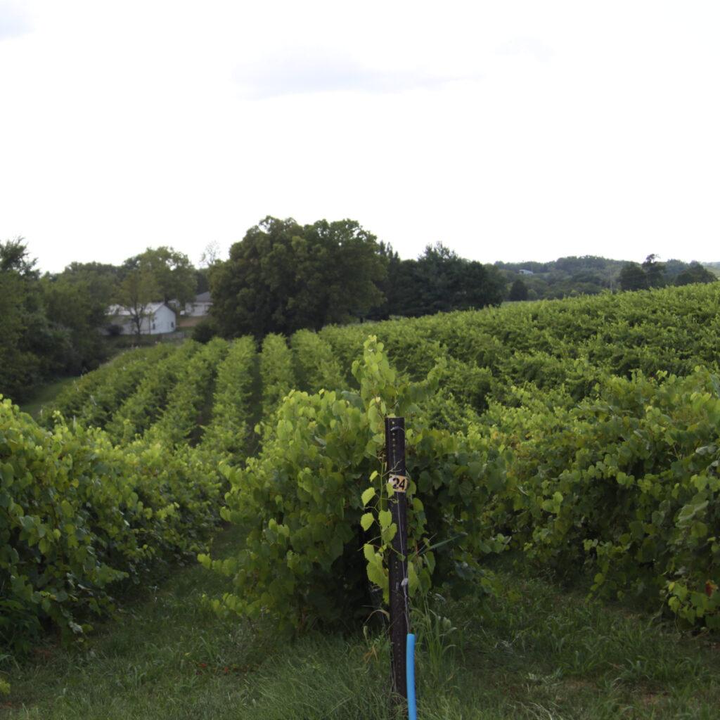 Augusta Missouri Vineyard.