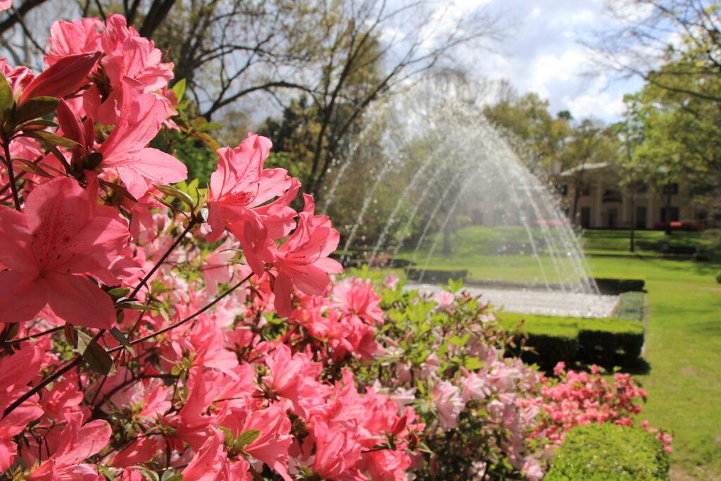 Azalea blooms in Houston, Texas.