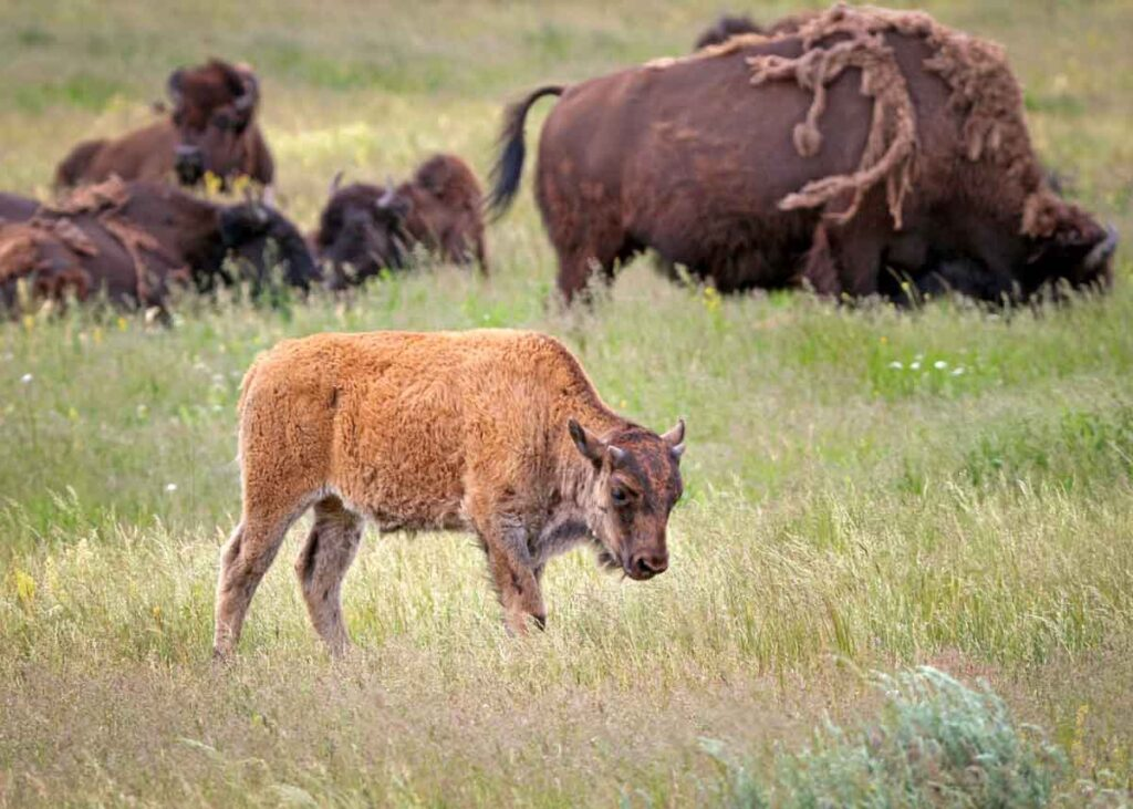 Baby bison at the Maxwell Wildlife Refuge.
