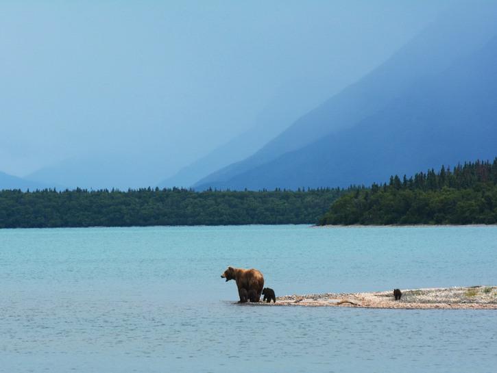 Bears on the shoreline, Alaska