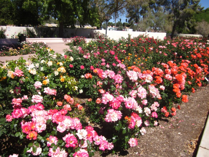bed of rose and orange roses