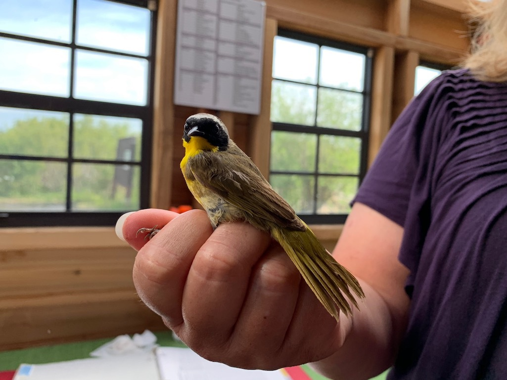 Bird banding at Oak Hammock Marsh in Winnipeg.