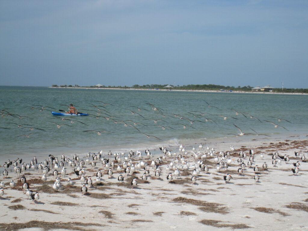 Birds on Caledesi Island.