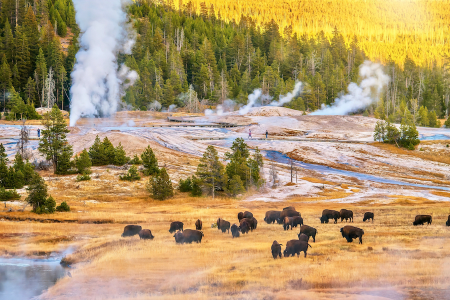 Bison at Upper Geyser Basin in Yellowstone National Park.