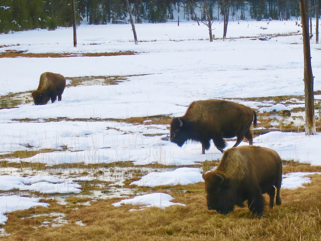 Bison at Yellowstone National Park in Montana.