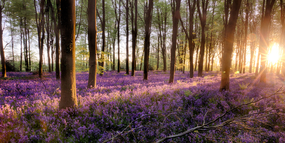 Blooming bluebells in a UK forest.