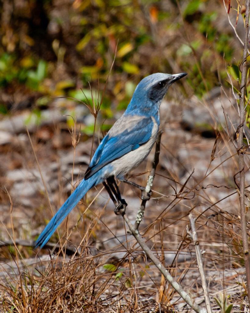 Blue Florida Scrub Jay.