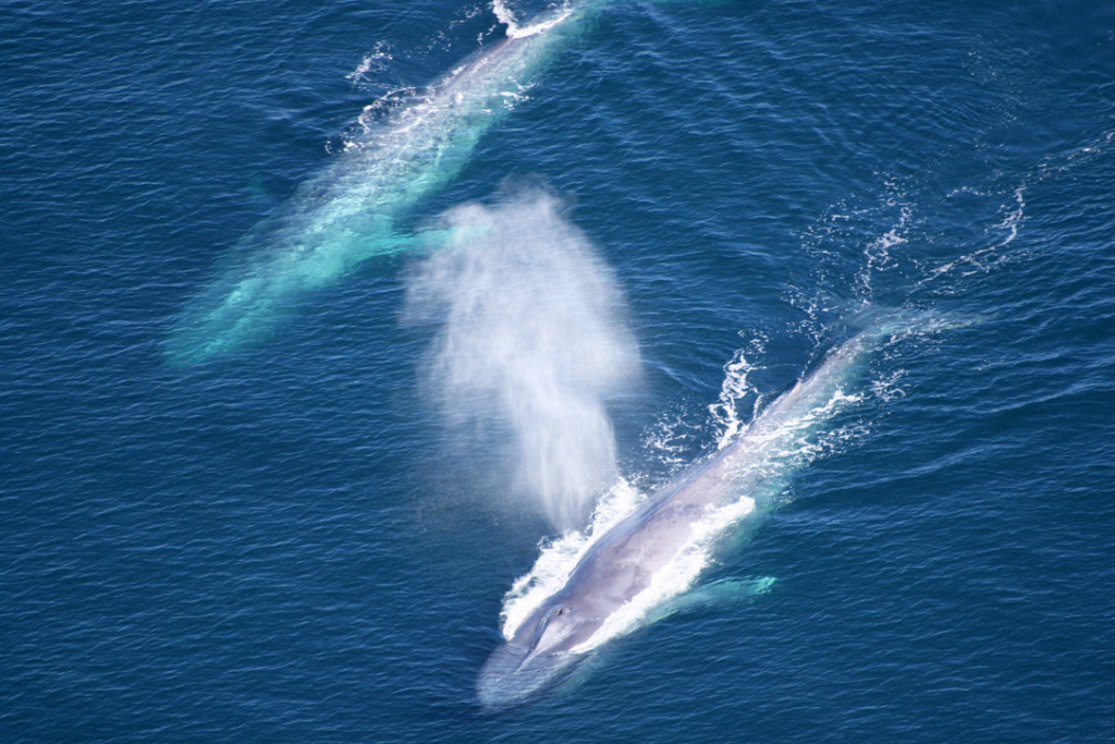 Blue whales in the Channel Islands.