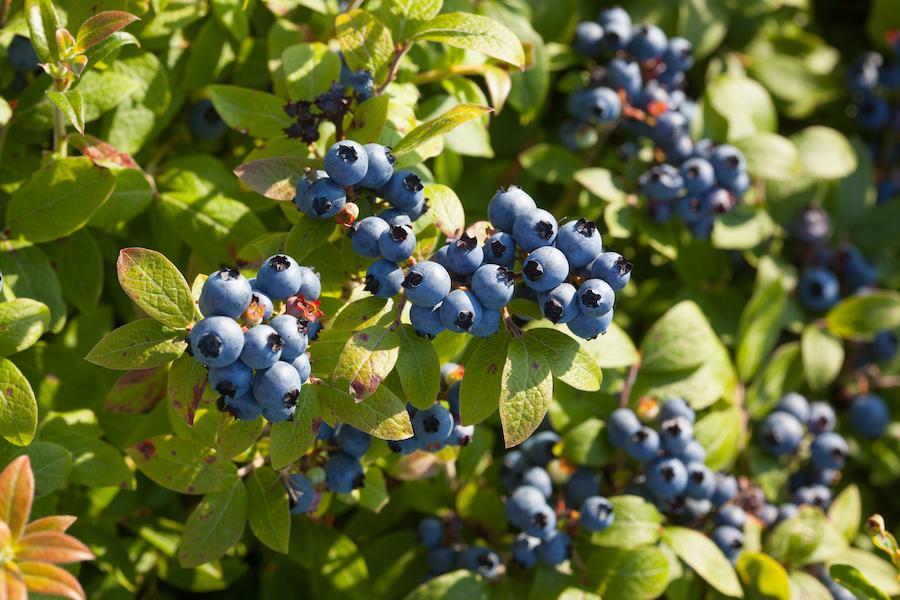 Blueberries growing in Maine.