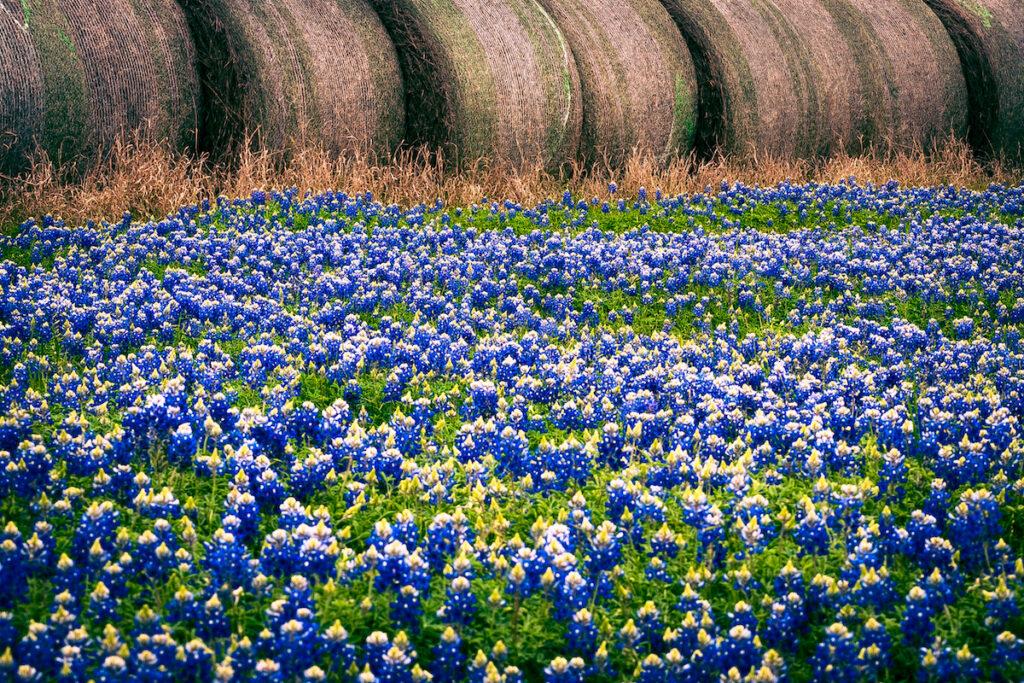 Bluebonnets in Brenham, Texas.