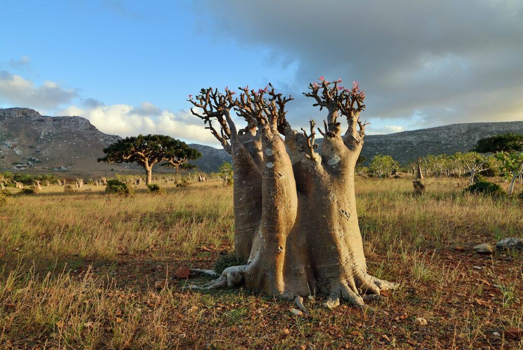 Bottle tree, Socotra, Yemen.