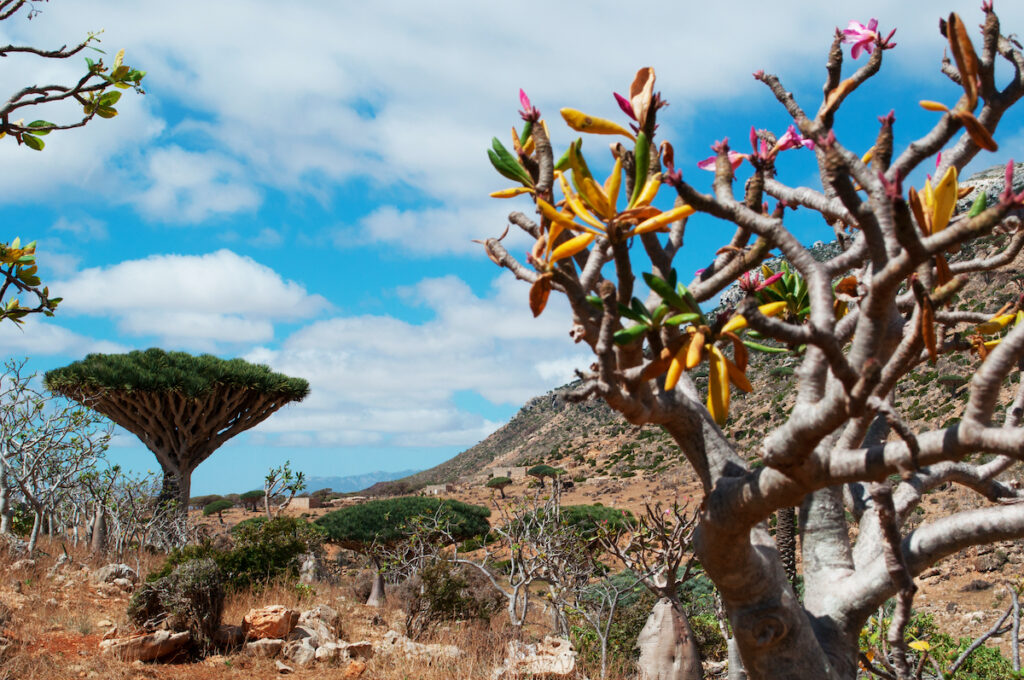 Bottle trees and dragon blood trees, Socotra.