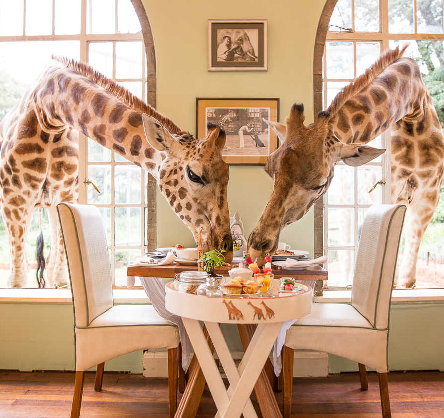 Breakfast with the giraffes.