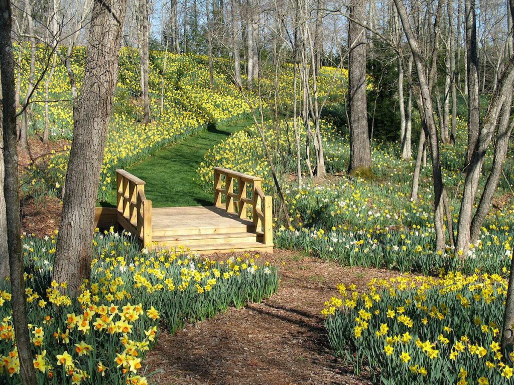 Bridge amid daffodils, Gibbs Gardens.