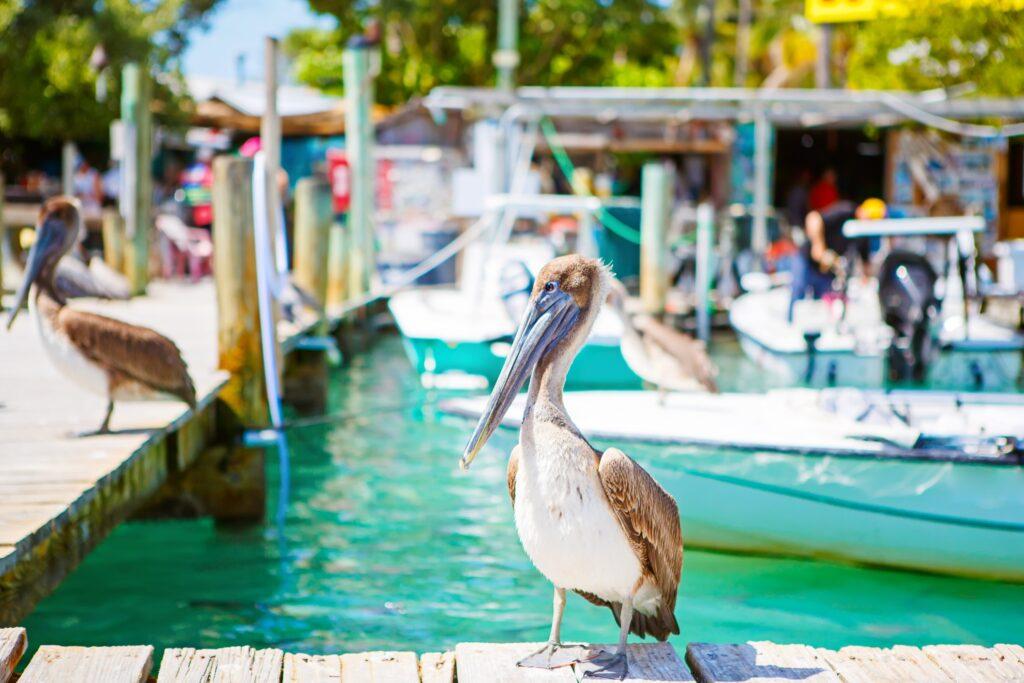 Brown pelicans in Islamorada, Florida.