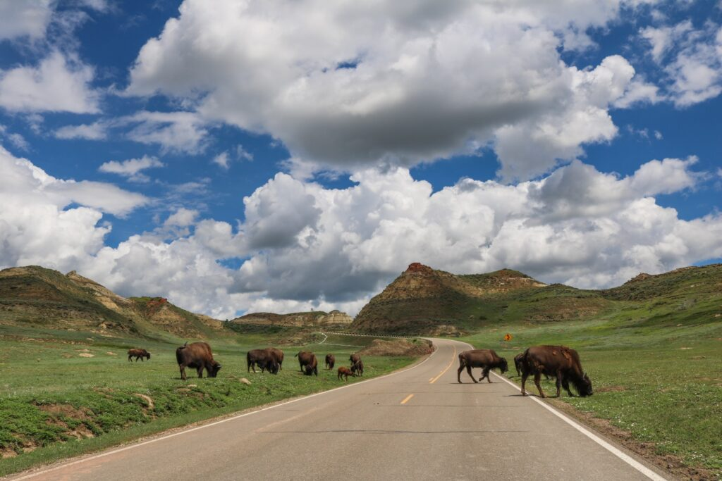 Buffalo grazing in Theodore Roosevelt National Park.