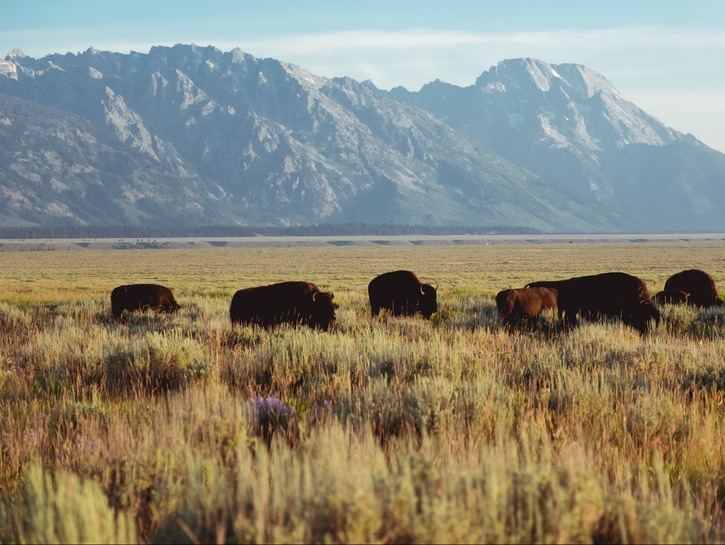 Buffalo on the plain, mountains in background