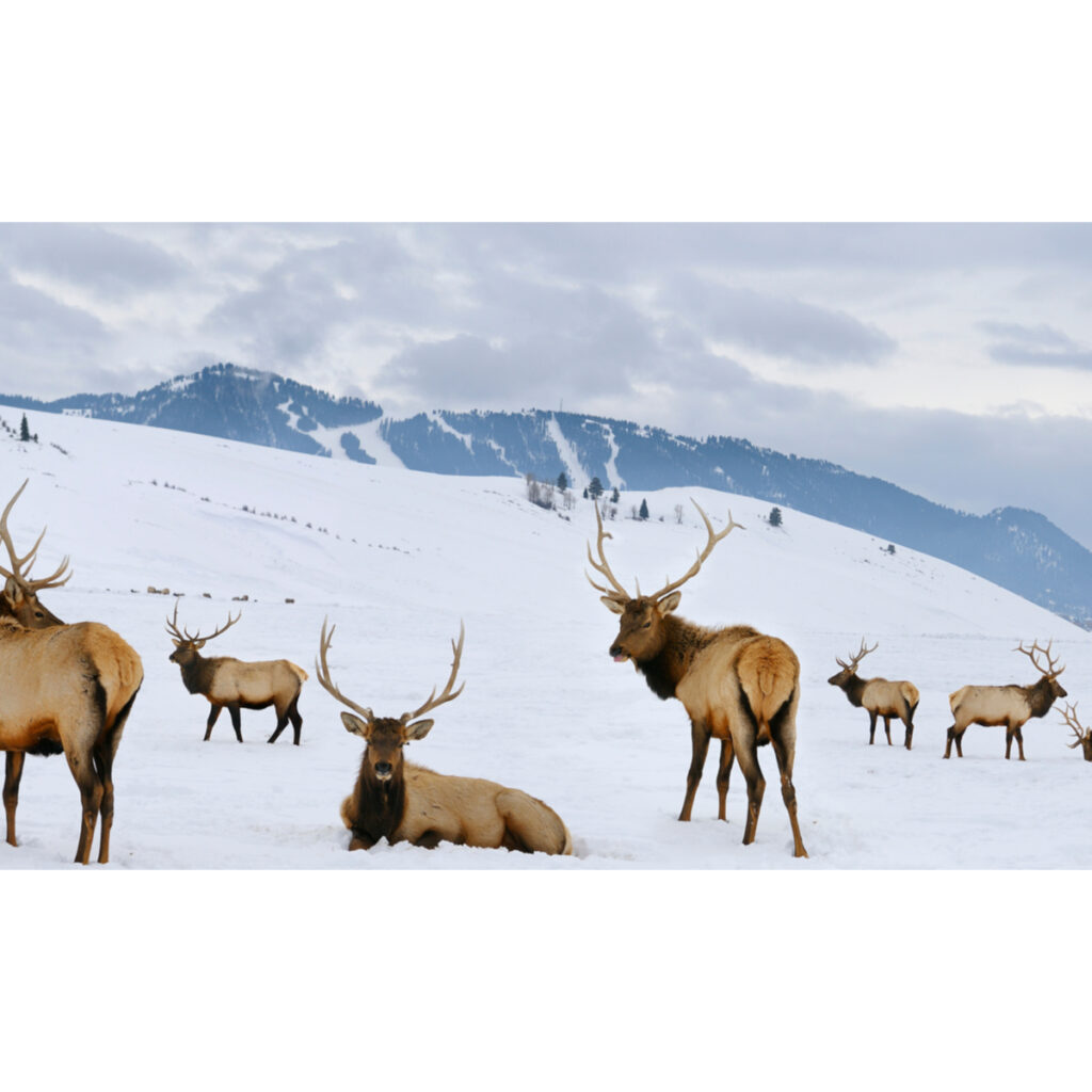 Bull Elk at National Elk Refuge in Snow King Ski Resort