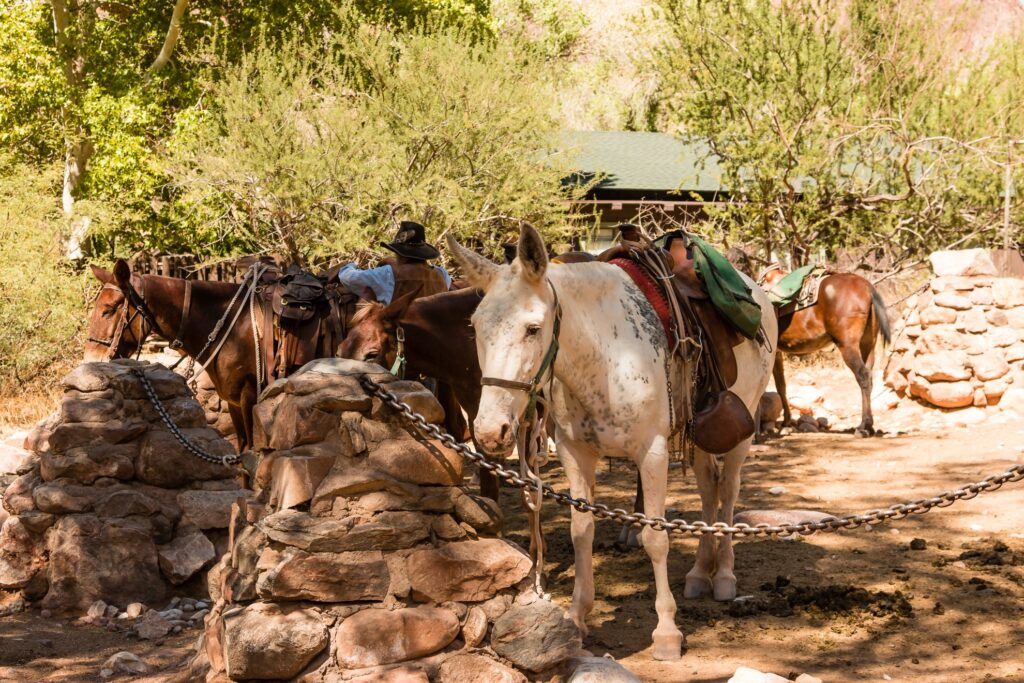 Burros at Phantom Ranch in Arizona.