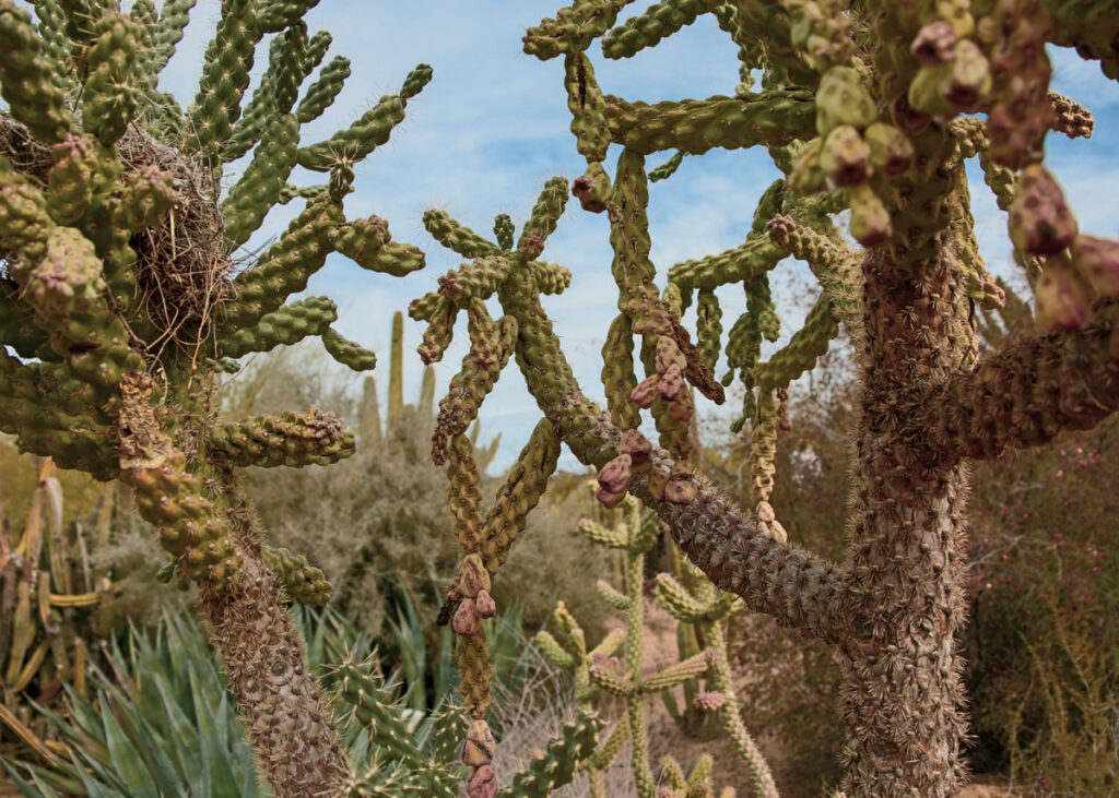 Cacti at the Desert Botanical Garden in Phoenix, Arizona.