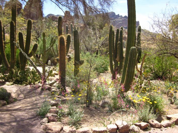 Cacti in Boyce Thompson Arboretum, Arizona