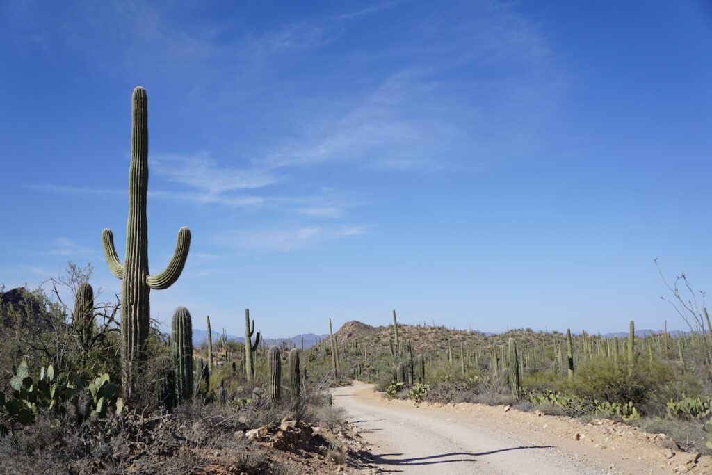 Cacti in Saguaro National Park.