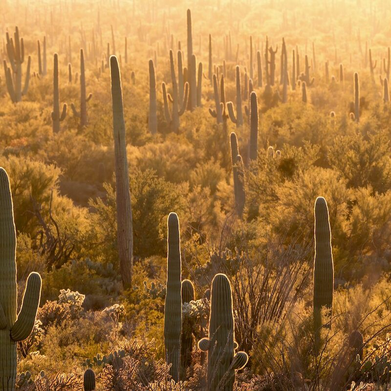 Cacti in Saguaro National Park.