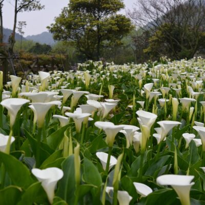 Calla lily field fields near Taipei, Taiwan.