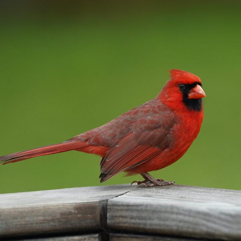 Cardinal in Alabama.
