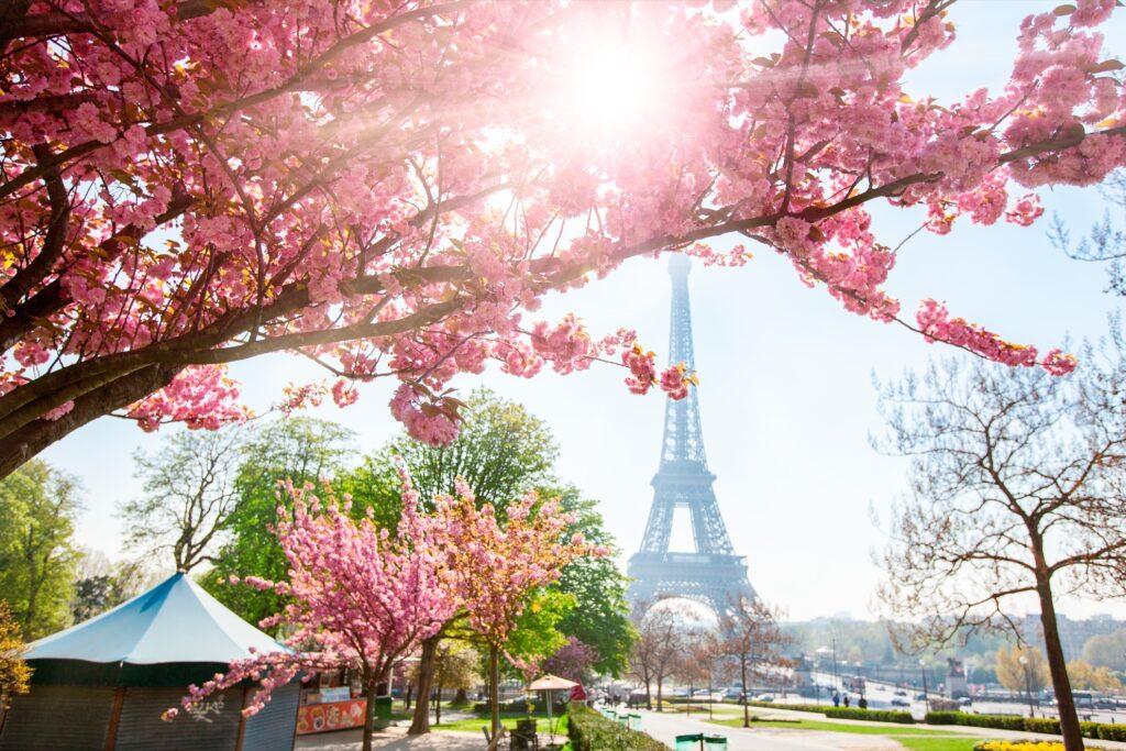 Cherry blossom trees in Paris.