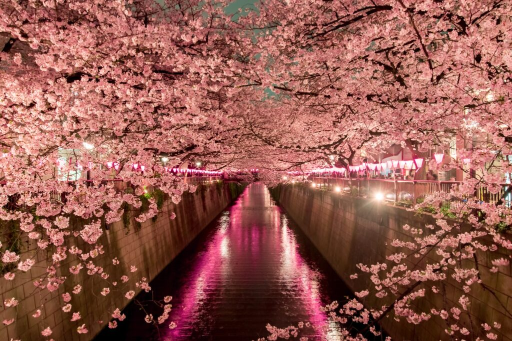 Cherry blossoms at night in Tokyo.