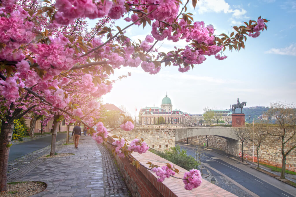 Cherry blossoms in Budapest, Hungary, during April.