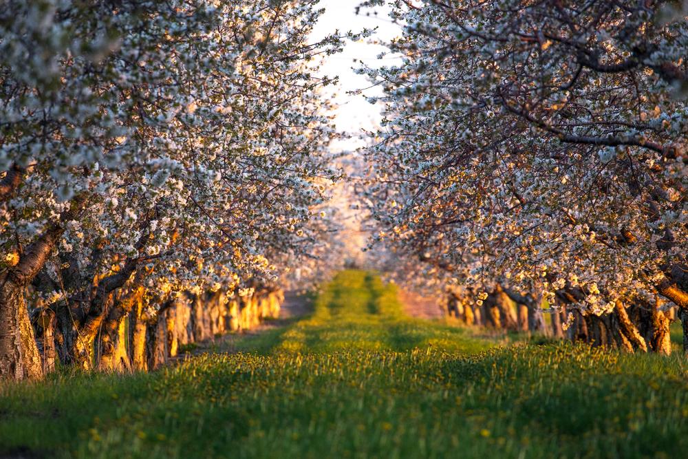 cherry trees in traverse city michigan