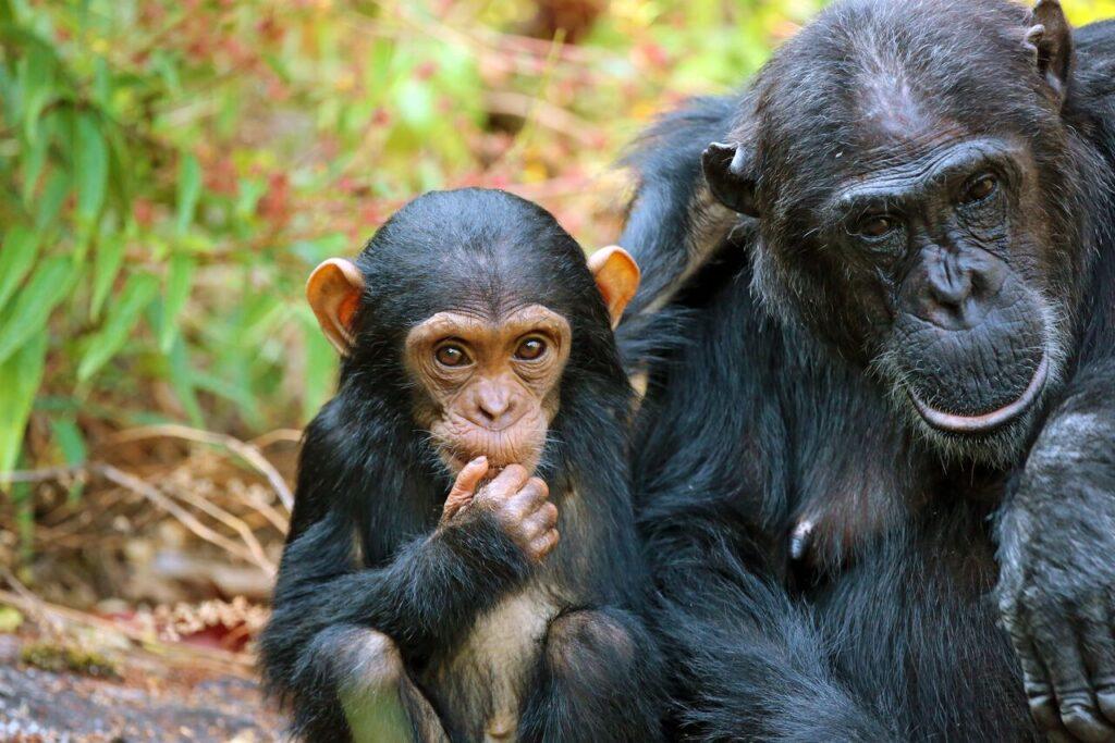 Chimpanzees in Mahale Mountain National Park Tanzania.