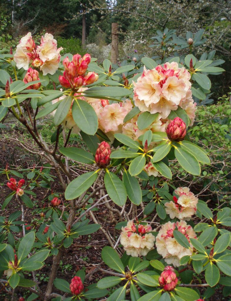 Chrystal Springs Rhododendron Garden in Portland, Oregon.