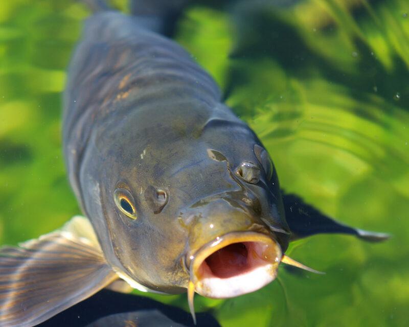 Close-up of Asian carp.