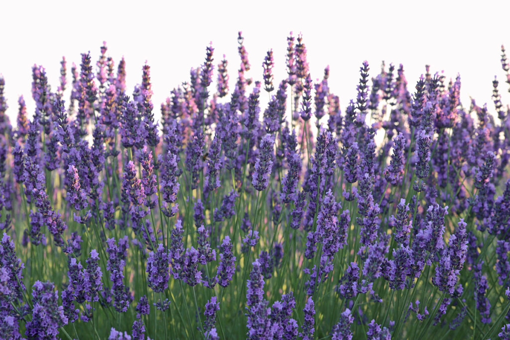 Close up of lavender fields in France.
