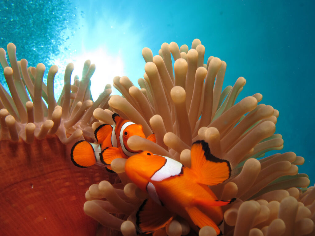 Clownfish on the Great Barrier Reef.