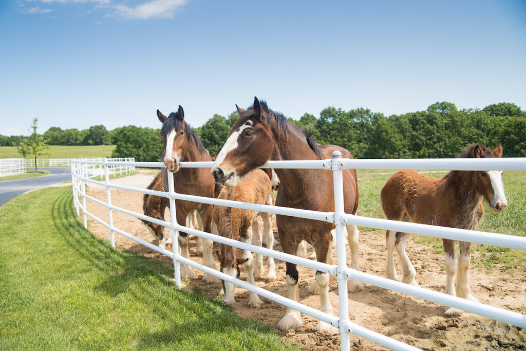 Clydesdales at Warm Springs Ranch.