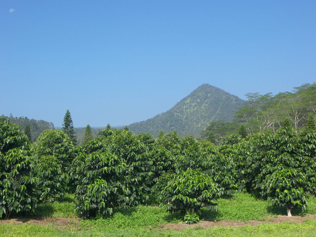 Coffee growing on Hawaii's Big Island.